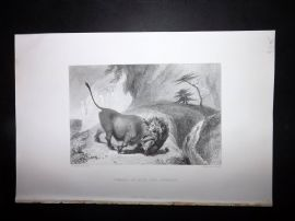 Nolan India C1880 Antique Print. Combat of Lion and Buffalo